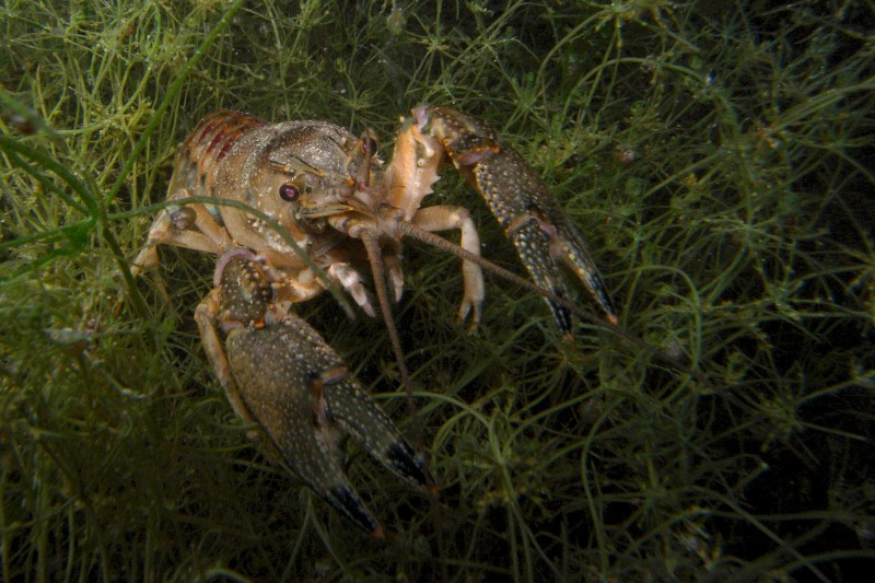 Spinycheek crayfish (Wikimedia)