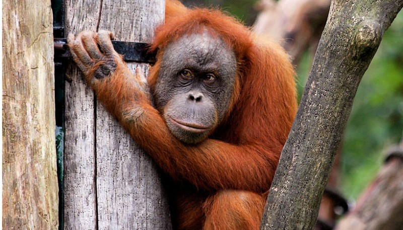 Female orangutan (© Alice Auersperg)