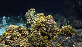 Bathymodiolus-mussels and other inhabitants of hydrothermal vents at the Mid-Atl