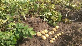 The potato is used to cooler climate and vulnerabe to environmental stresses; pa